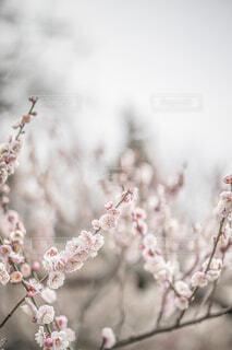 梅の花の写真・画像素材[4353978]