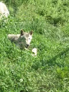 オオカミの写真・画像素材[3367115]