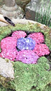 浮かぶ紫陽花の写真・画像素材[3375410]