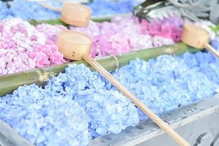 浮かぶ紫陽花の写真・画像素材[3375409]