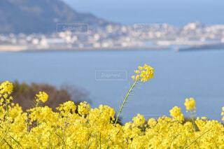 海を見下ろす菜の花の写真・画像素材[4349990]
