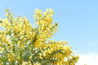 ミモザの木と青空と雲の写真・画像素材[4350038]