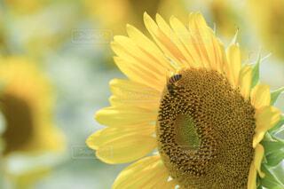 ひまわりと蜜を吸いに来たミツバチのアップの写真・画像素材[4350068]