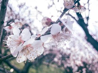梅の花と光の写真・画像素材[4375523]