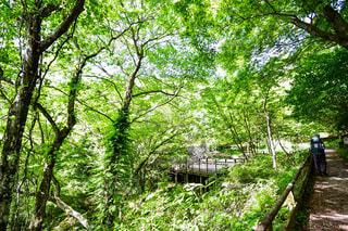 一面緑の森の中のハイキングの道の写真・画像素材[4417989]
