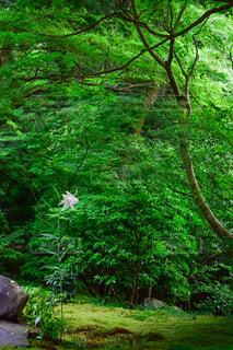 森の中の緑に囲まれた一輪の白い百合の花の写真・画像素材[4418003]