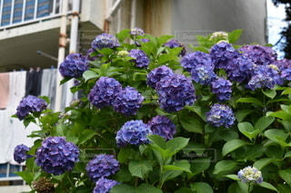 町の紫陽花の写真・画像素材[3369796]