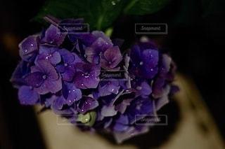 紫色の花のクローズアップの写真・画像素材[3374687]