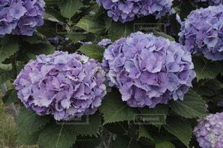 紫色の花束のクローズアップの写真・画像素材[3374692]