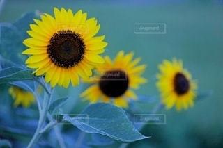 花のクローズアップの写真・画像素材[3538934]