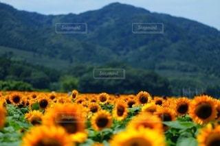背景に山のある花畑のクローズアップの写真・画像素材[3557231]