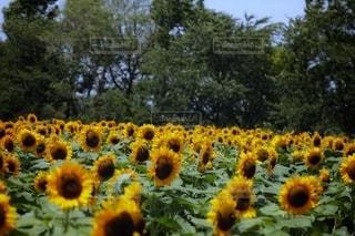花のクローズアップの写真・画像素材[3557328]