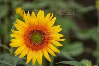 花のクローズアップの写真・画像素材[3564989]