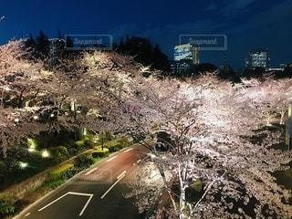 桜の写真・画像素材[3378574]