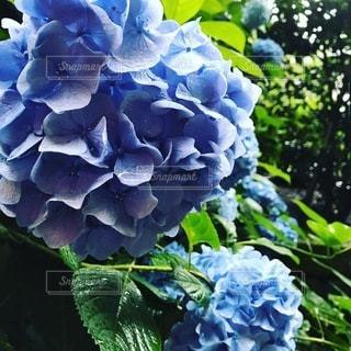 満開の紫陽花の写真・画像素材[3375561]