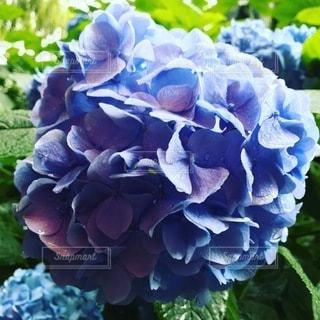 紫陽花のクローズアップの写真・画像素材[3375562]