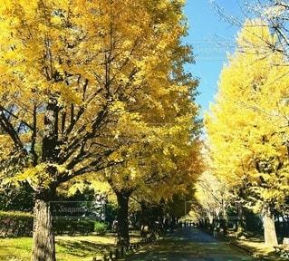 黄色の散歩道の写真・画像素材[3382059]