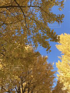 イチョウの葉の写真・画像素材[3774514]