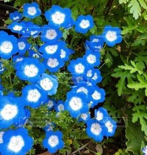 鮮やかに咲いた青の世界。の写真・画像素材[3376400]