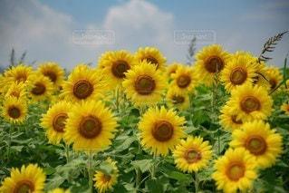 向日葵の写真・画像素材[3541501]