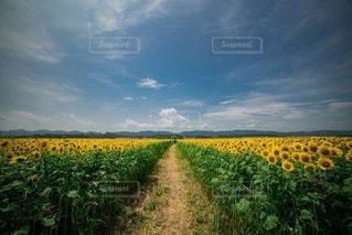 ひまわり畑の写真・画像素材[3541503]