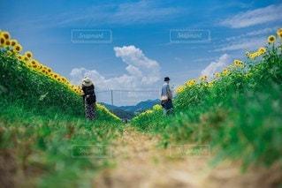 絵のような向日葵の写真・画像素材[3541502]