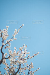 青空×梅の写真・画像素材[4298754]