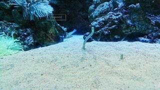 チンアナゴの写真・画像素材[3381092]