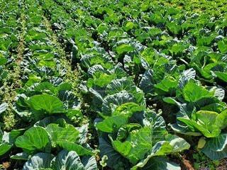 食べ物,緑,野菜,食品,キャベツ,グリーン,新鮮,畑,春野菜,食材,フレッシュ,ベジタブル,春キャベツ,三浦