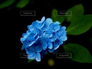 蝶々のような紫陽花の写真・画像素材[3380575]