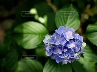 緑の葉に映える紫陽花の写真・画像素材[3380574]