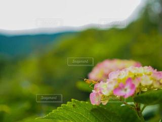 紫陽花とカマキリの写真・画像素材[3382876]