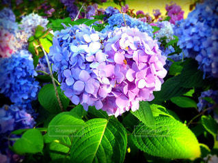 花,夏,あじさい,フラワー,お花,ハート,紫陽花,梅雨,まゆ写