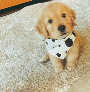 牛柄のバンダナを巻いたゴールデンレトリバー子犬の写真・画像素材[4043538]