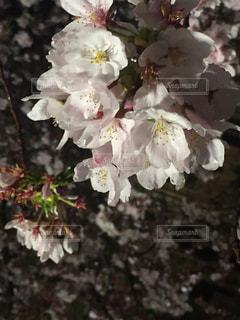 桜,雨,京都,水,水滴,花見,夜桜,水玉,東寺,雫,しずく,ゆか写