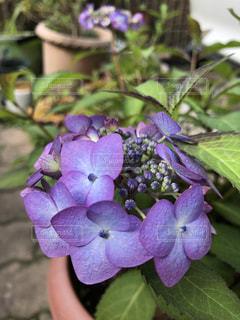 山紫陽花の写真・画像素材[3391283]