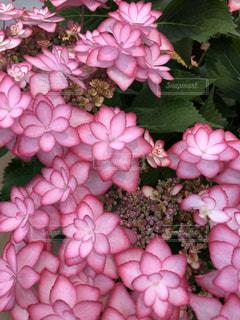 ステキな紫陽花の写真・画像素材[3391284]