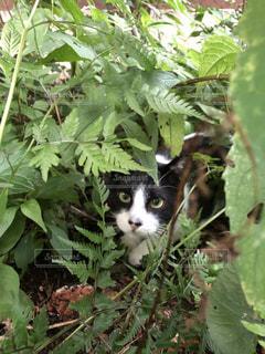 猫店長のカウさんの写真・画像素材[3393801]