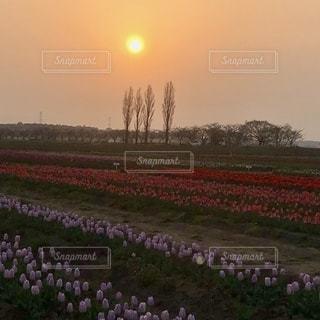 チューリップフェスタの夕日の写真・画像素材[3394701]