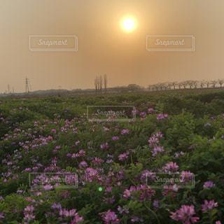 レンゲ畑の夕日の写真・画像素材[3394702]