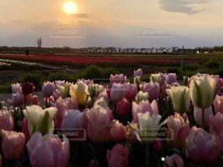 花畑と夕日の写真・画像素材[3394986]