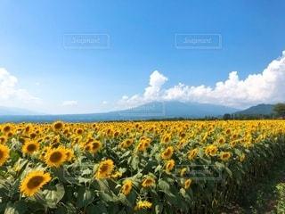 ひまわり畑の写真・画像素材[3503007]