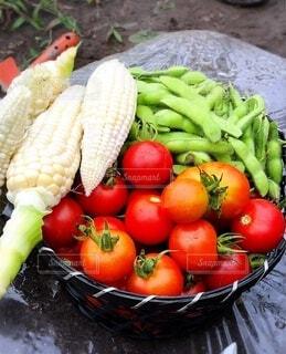 食べ物,風景,トマト,野菜,ミニトマト,コーン,食品,美味しい,新鮮,枝豆,畑,食材,採れたて,フレッシュ,ベジタブル