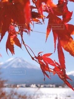 真っ赤なモミジの写真・画像素材[3724749]