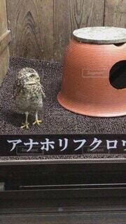 動物,鳥,癒し,小さい,可愛い,梟,テキスト,富士花鳥園,アナホリフクロウ