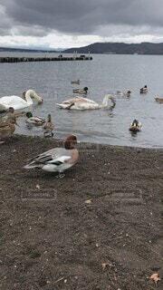 風景,空,動物,鳥,屋外,湖,砂浜,水面,山,景色,泳ぐ,癒し,可愛い,スワン,たくさん,白鳥,地面,鴨,湖畔,水鳥,日中,水の鳥