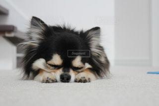 お昼寝中のチワワの写真・画像素材[3394165]