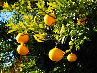 夏みかんの木の写真・画像素材[3941458]
