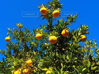 夏みかんの木の写真・画像素材[3941459]