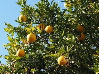 夏みかんの木の写真・画像素材[3941460]